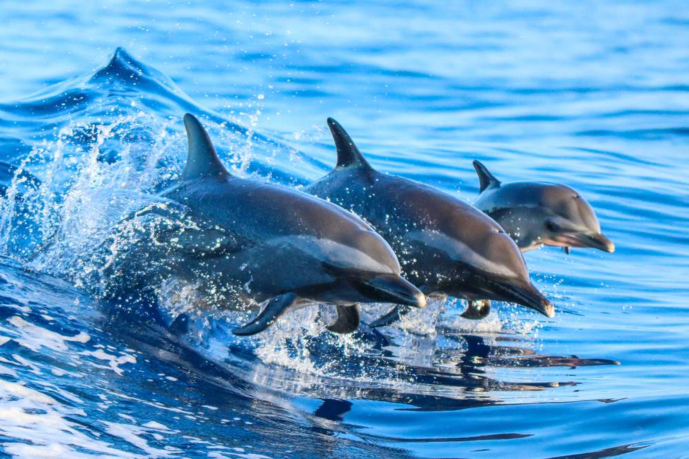 dolphin spotting in gran canaria